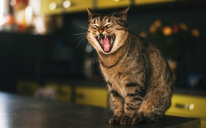 Picture cat, cat, face, mouth, sitting, yawns