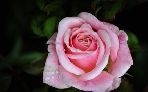 Picture flower, drops, background, rose, pink rose