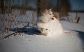 Picture winter, language, cat, white, cat, look, face, light, snow, nature, pose, sprig, mesh, the fence, …