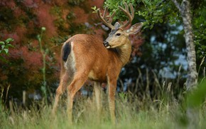 Picture grass, look, branches, nature, pose, background, foliage, back, deer, baby, horns, fawn, cub, horns, young, …