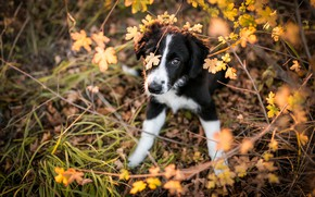 Picture autumn, grass, look, leaves, branches, nature, pose, background, thickets, black and white, dog, paws, baby, …