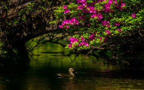 Picture light, flowers, branches, bird, pink, duck, pond, Azalea, rhododendrons