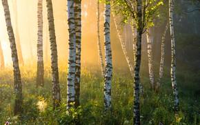 Picture summer, grass, fog, birch