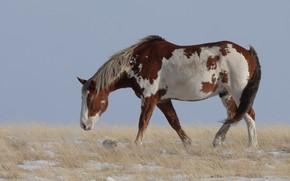 Picture field, background, horse, horse, walk, piebald