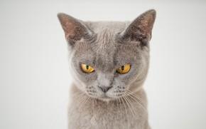 Picture muzzle, yellow eyes, grey cat, grumpy cat