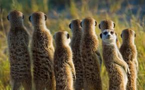 Picture Africa, mammal, meerkat, meerkat, Botswana