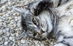 Picture road, cat, cat, look, face, pebbles, stones, grey, background, portrait, lies, striped, green eyes, Kote, …