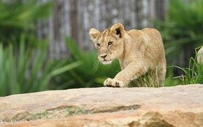 Picture pose, background, Leo, cute, log, face, wild cat, lion, zoo, lion