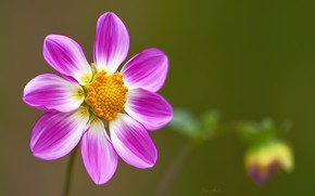 Wallpaper flower, background, pink, Dahlia