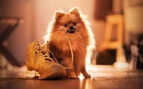 Picture dog, lace, shoes, Spitz