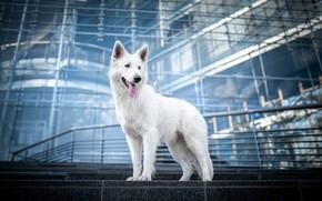 Picture language, dog, The white Swiss shepherd dog