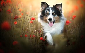Picture language, face, flowers, Maki, dog, bokeh, The border collie