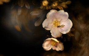 Picture flowers, the dark background, insect, bokeh