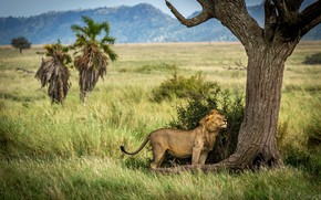 Picture grass, nature, pose, tree, Bush, Leo, Savannah, the buzz, back scratching