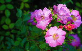 Picture leaves, drops, light, flowers, Bush, roses, petals, garden, briar, pink, buds, lilac