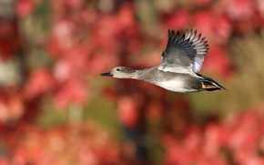 Picture flight, red, background, bird, flies, duck, bokeh, blurred