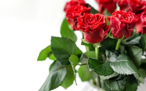 Picture white, background, roses, red