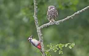 Picture birds, woodpecker, owl