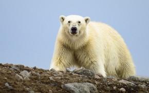 Picture look, bear, Polar bear, Polar bear