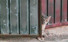 Picture cat, the fence, gate