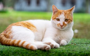 Picture greens, cat, grass, cat, look, face, pose, lawn, portrait, paws, red, lies, spotted, white with …