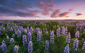Picture field, flowers, lilac, lupins
