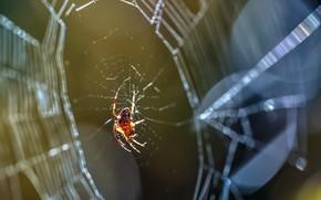 Picture spider, web, nature