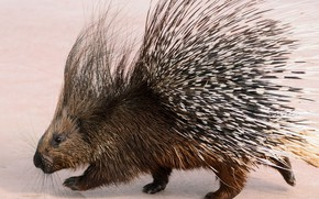 Picture needles, background, porcupine