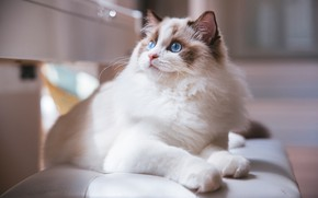 Picture cat, white, cat, look, face, light, bench, kitty, background, portrait, light, lies, kitty, blue eyes, ...