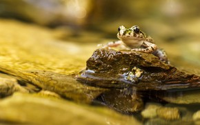 Picture water, macro, pond, background, stone, frog, pond
