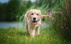 Picture language, summer, grass, flowers, nature, shore, dog, baby, puppy, walk, Labrador, pond, Retriever