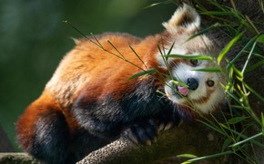 Picture leaves, nature, tree, animal, red Panda, red Panda