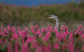 Picture summer, flowers, bird, meadow, pink, Heron