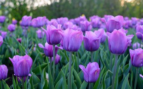 Picture flowers, beauty, spring, tulips, flowerbed, a lot, lilac, bokeh, Tulip field