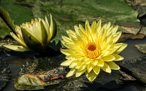 Picture leaves, flowers, pond, background, two, yellow, petals, Duo, water lilies, pond, water Lily, nymphs