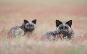Picture grass, pair, Fox, bokeh, Silver Fox