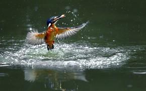Picture lake, fish, Kingfisher, foda