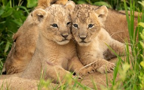 Picture grass, kittens, wild cats, lions, the cubs, a couple, lioness, cubs