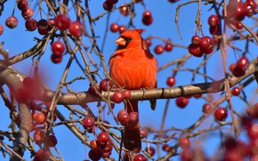 Picture light, branches, berries, bird, fruit, red, bright, blue background, bokeh, cardinal, red cardinal