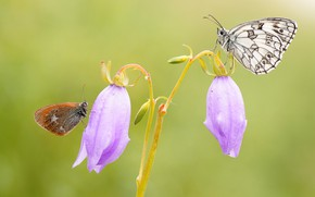 Picture macro, butterfly, flowers, insects, background, butterfly, two, pair, bells, a couple, Duo, lilac, two butterflies