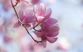 Picture pink, spring, Magnolia