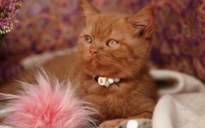 Picture cat, look, flowers, pose, kitty, portrait, red, fabric, lies, beads, fur, collar, face, British, bokeh