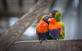 Picture birds, pose, Board, parrot, pair, parrots, a couple, Duo, two, Lori, loricati, two parrots
