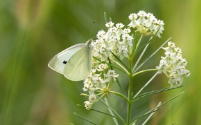 Picture flowers, butterfly, cabbage