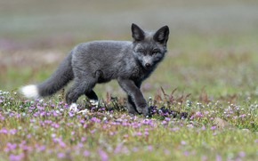 Picture flowers, blur, baby, cub, Fox