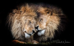 Picture lions, mane, feelings