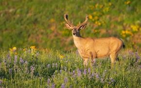Picture field, summer, light, flowers, nature, deer, meadow