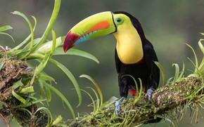 Picture leaves, bird, branch, Toucan