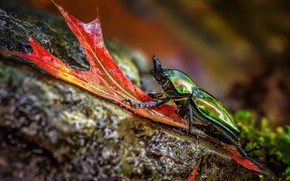 Picture macro, nature, green, background, stone, leaf, beetle, insect, brilliant