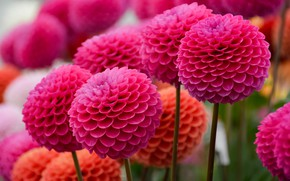 Picture flowers, balls, bright, garden, pink, flowerbed, a lot, dahlias, pompon